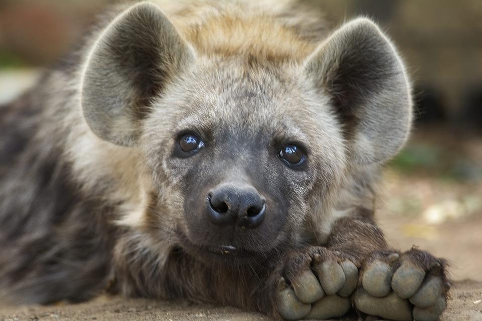 hyena-2815432_960_720